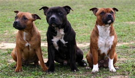 staffordshire bull terrier vs rottweiler ready for adoption bulldog american staffordshire breeds picture
