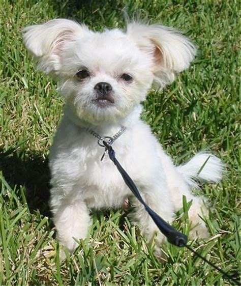 shih tzu mixed with chihuahua pictures shih tzu chihuahua mix a k a shichi breed info 21 pictures animalso