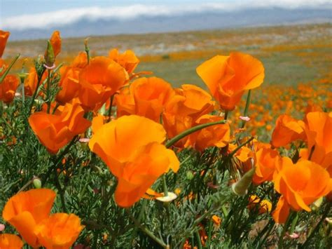 poppy and the orchestra 17 best images about the antelope valley on pinterest