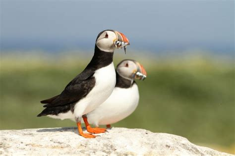 atlantic puffins facts and figures about maine s iconic bird