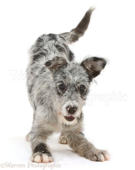 mutt puppy blue merle mutt puppy in play bow photo wp42063