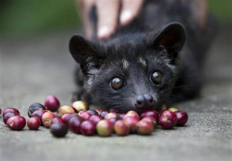 Kopi Luwak   Get Into Medical School