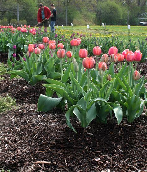 Tulpen Einpflanzen by Garden Design 61105 Garden Inspiration Ideas