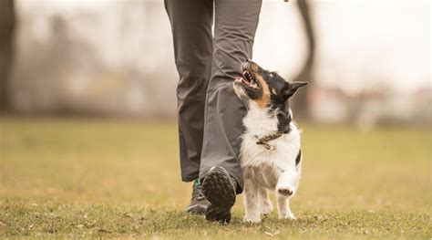 how to teach a puppy to heel mastering the walk how to teach your to heel