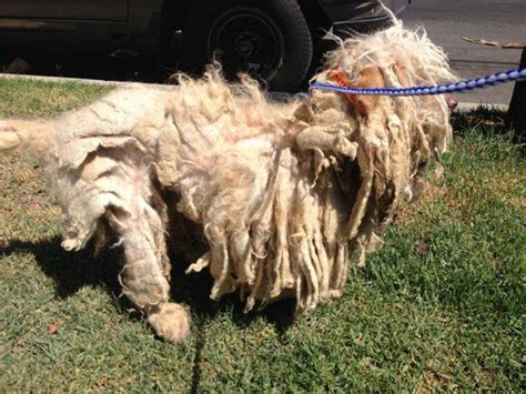 Matted Dogs by Cruelty Investigation Dogs So Matted They Couldn T Move
