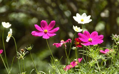 imagenes flores silvestres 清新淡雅的花朵桌面壁纸 动物自然新闻图5 电脑之家pchome net