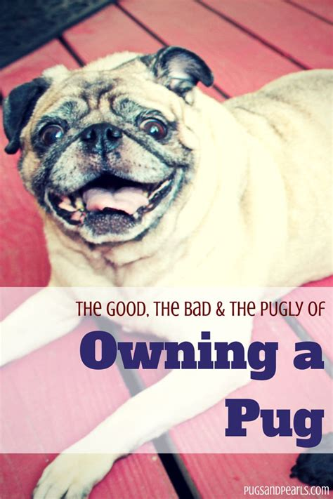 owning a pug pros and cons the 25 best pug pictures ideas on pug pictures pugs and pugs
