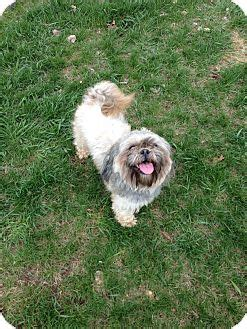 shih tzu rescue manchester manchester ct shih tzu mix meet andy adoption pending a for adoption
