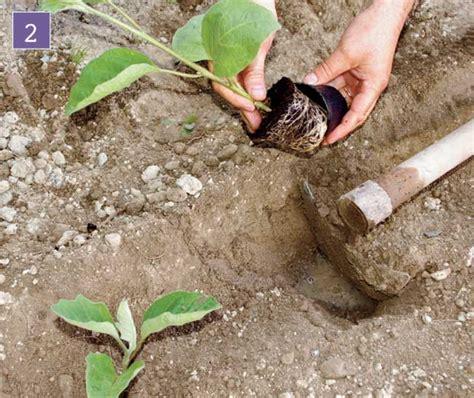 coltivazione melanzane in vaso coltivare melanzane guida dettagliata fai da te in