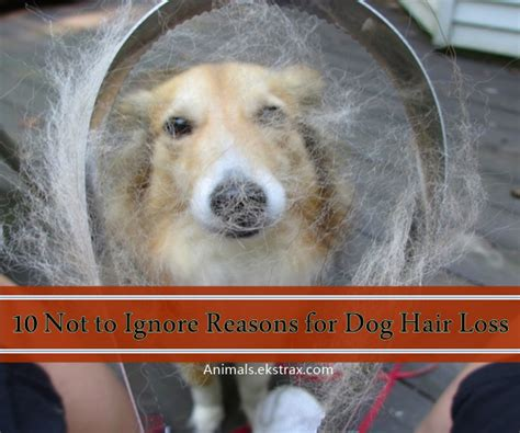 puppy hair loss 10 not to ignore reasons for hair loss