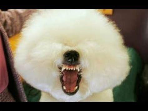 imagenes animales riendose videos de perros bravos y locos pero graciosos perros