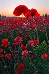 fiori di papaveri leggende dei fiori a flower the world