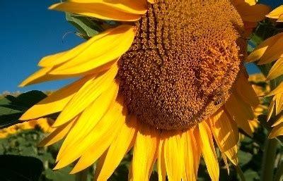 girasole fiore significato significato girasole 6 significato dei fiori