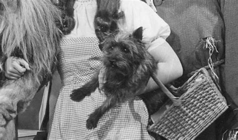toto breed what breed is toto from the wizard of oz the breeds trivia quiz fanpop