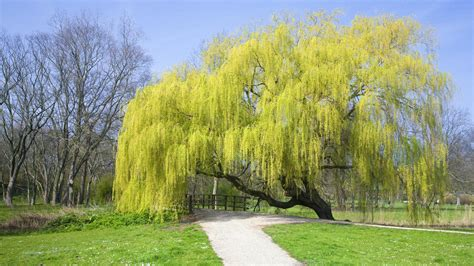 of willow weeping willow tree guide the tree center