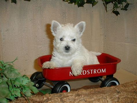 puppies for sale in south dakota 1000 ideas about westie puppies for sale on goldendoodles for sale pug