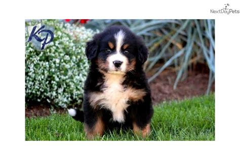 bernese mountain puppies for sale near me bernese mountain puppy for sale near lancaster pennsylvania a86130f0 e851