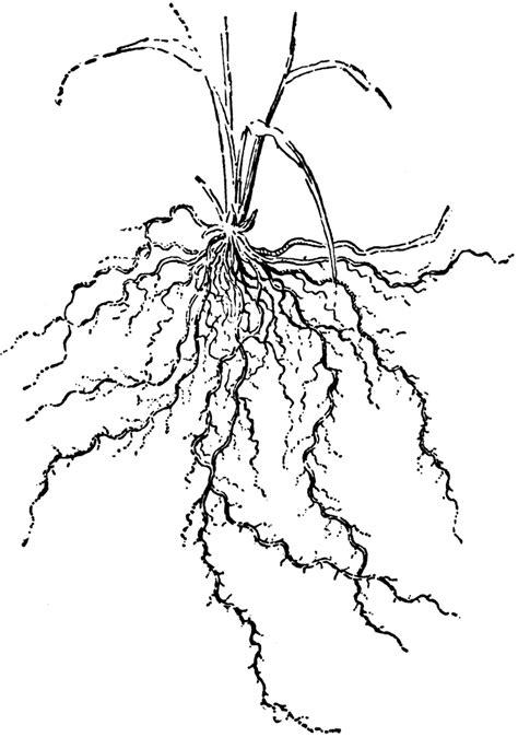clipart etc plant roots clipart clipart suggest
