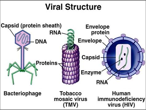 diagram of a typical virus viruses usually are made up of rna or dna and are