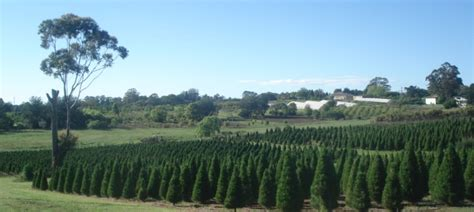 we are your online christmas tree farm store for