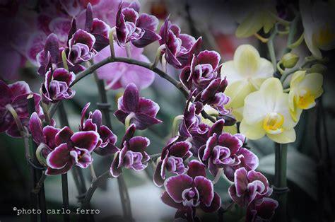 orchidea non fiorisce orchidea cura coltivazione e vendita