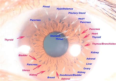 Iridology Detox by 46 Best Images About Iridology On Pictures Of
