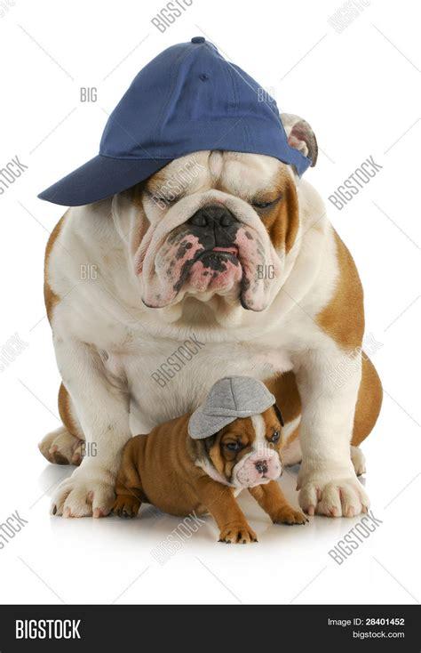 perros e hijos de perro padre e hijo padre de bulldog ingl 233 s con cuatro semana de edad hijo llevando sombreros