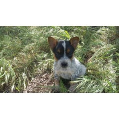 australian cattle puppies california australian cattle puppies and dogs for sale and adoption in california