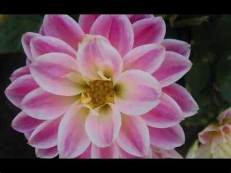 foto fi fiori sequenza di foto di fiori tutti rigorosamente al naturale