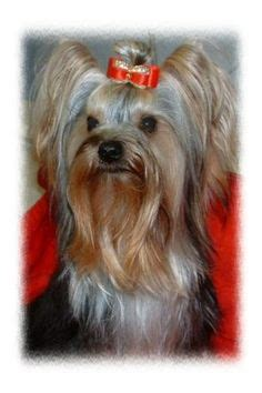 how to make bows for yorkies 1000 images about yorkie baily on yorkie terrier and bows