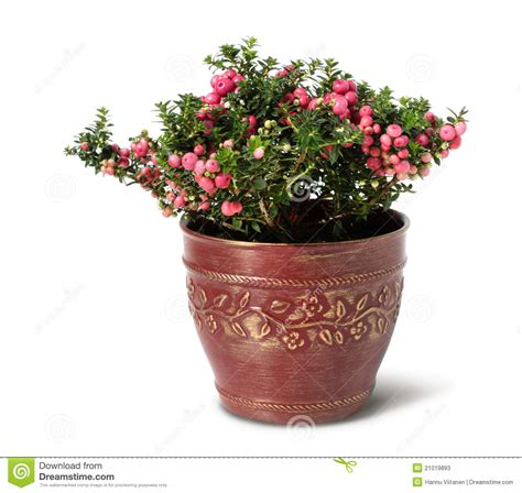 pot plant christmas altar evergreen pernettya plant stock photos 7 images