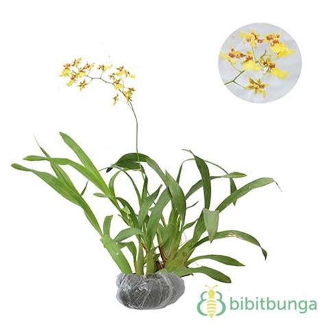 Jual Pot Anggrek Gantung tanaman anggrek golden shower jual tanaman hias