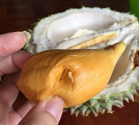 Bibit Durian Duri Hitam bibit durian duri hitam black torn oche hub