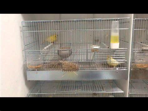 canarini riproduzione in gabbia canarini riproduzione in gabbia home visualizza idee