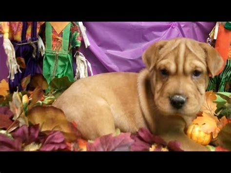 mini walrus puppy shar pei funnydog tv