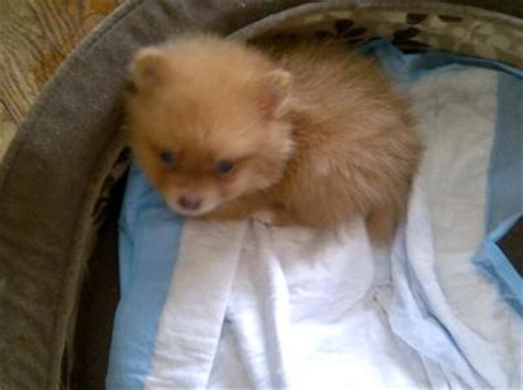 pomeranian symptoms my granddaughter dropped 6 week pomeranian puppy on what symptoms should i