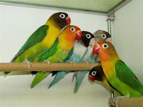 lovebirds bracken bird farm