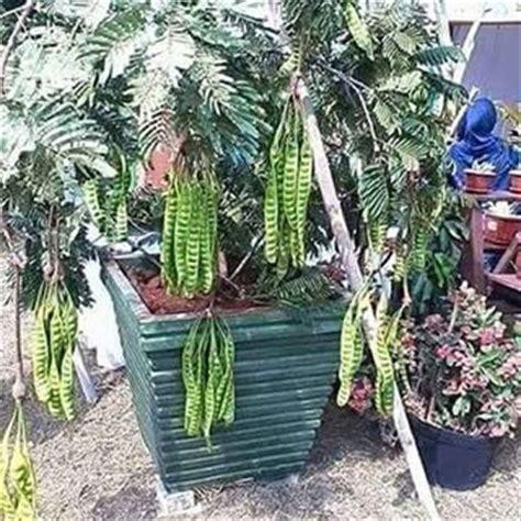 Pandan Madu d laman hijau nursery pokok dalam pasu