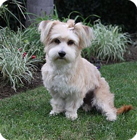 havanese and yorkie mix muriel adopted newport ca havanese yorkie terrier mix