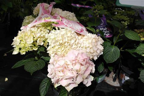 Pupuk Untuk Bunga Panca Warna hydrangea hortensia si bunga seribu panca warna yunia