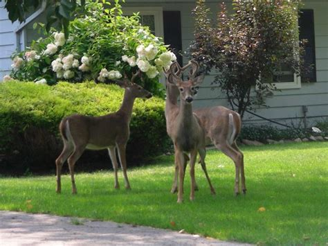 Which Plants Are The Most Deer Resistant What To Feed Deer In Backyard