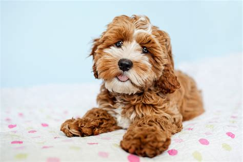 happy tails puppies tessa the cockapoo puppy by happy tails pet photography pretty fluffy