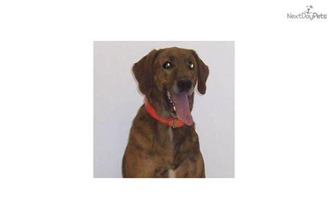 plott hound puppies for sale home dogs hound dogs plott hound puppies for sale breeds picture
