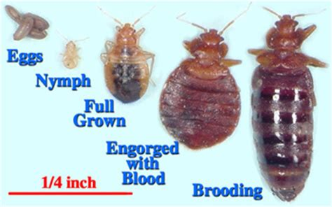 full grown bed bug bed bug detection with bed bug sniffing dogs from regional