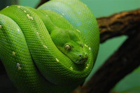 imagenes de viboras verdes las serpientes no siempre nacen de un huevo