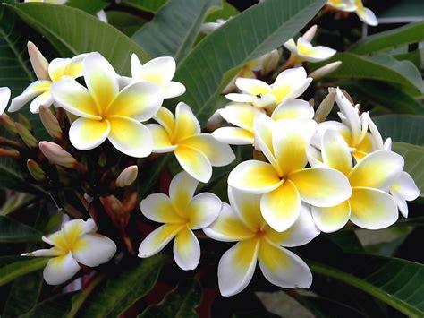 imagenes de flores jasmin pensamentos perdidos flores que amo jasmim