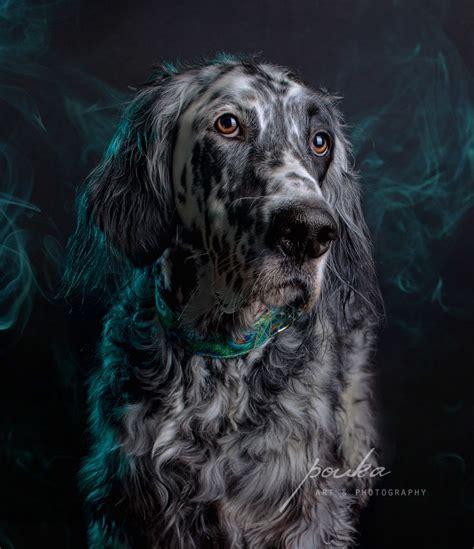 english setter dog collar 33 best my photography pouka fine art pet portraits