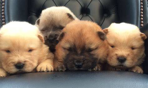 chow chow panda puppies for sale chow chow puppies for sale uk picture and images