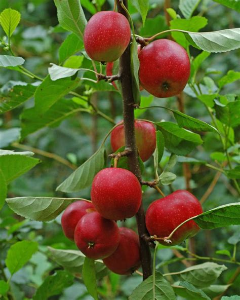 Pulpen Buah Summer Loving Apt003 17 best images about buah buahan on trees prunus and cherries