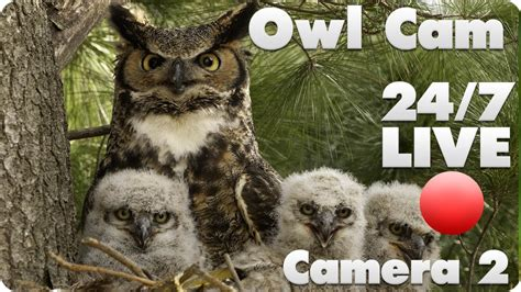 great horned owl live cam 2 youtube